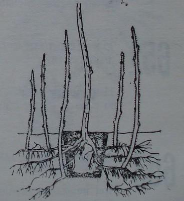 Подмладяване на малинов храст