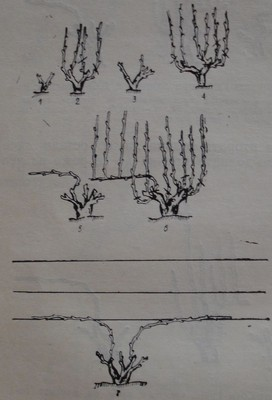 подобрен Гюйо при лозички, извадени от вкоренилището с две силни пръчки