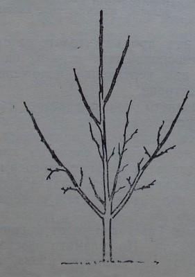 Ябълково дърво, формирано по подобрена етажна корона