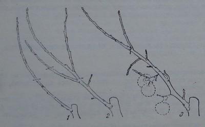Превръщане на силно клонче в полускелетно плодно клонче
