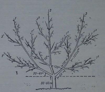 Прасковено дърво, формирано по италианска чашовидна корона
