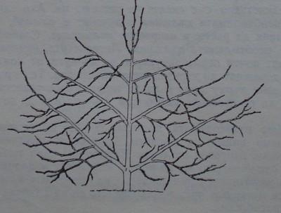 Правилно формирано ябълково дърво като палмета