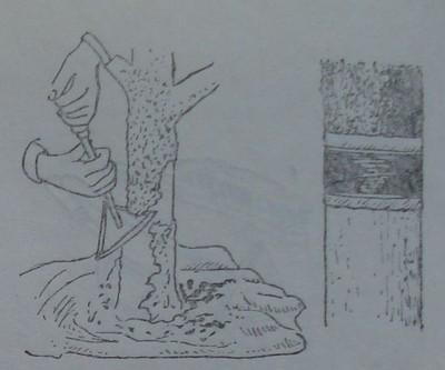 Предварително остъргване на кората на ствола за поставяне на леплив пояс