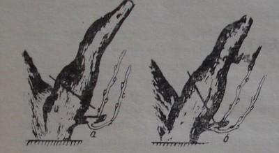 Премахване на стари рамена на лозата