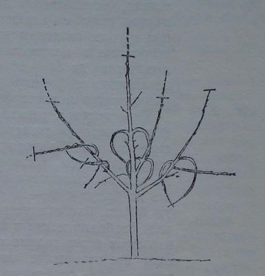 Превиване на силните и растящите навън скелетни клонки