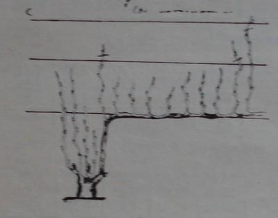 Прищипване на буйно растящи леторасти върху плодната пръчка