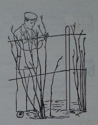 Привързване на пълзящи къпинови растения на телена конструкция
