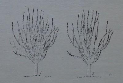 Прореждане на плододаващо ябълково дърво
