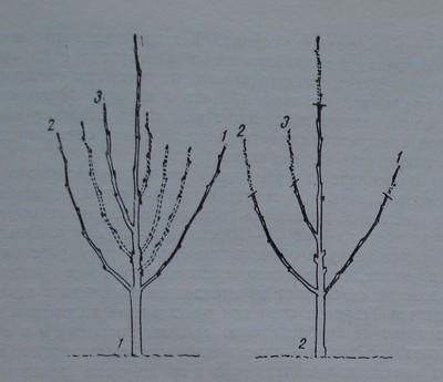 Първа резитба на ябълково дръвче по подобрена етажна корона