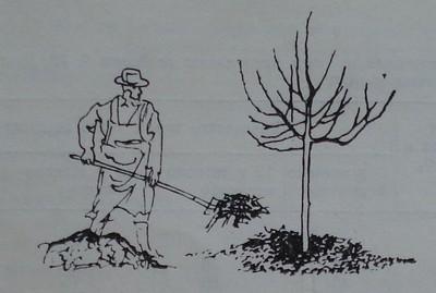 Разхвърляне на оборски тор около овощно дърво