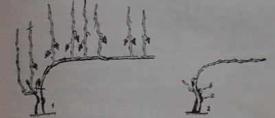Резитба за поддържане на формировката единичен Гюйо
