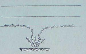 Резитба подобрен Гюйо с две плодни пръчки