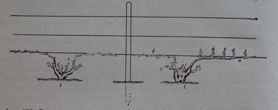 Резитба на лози със значителен процент измръзнали пъпки