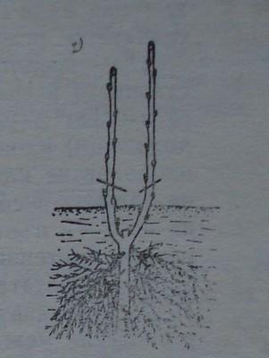 Резитба на касисово растение с две еднакво силни клонки