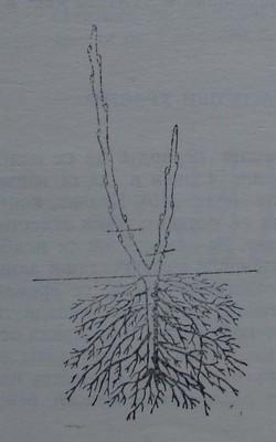 Резитба на касисово растение през втората година
