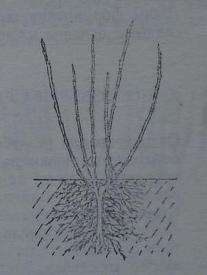 Резитба на касисово растение с две нееднакво силни клонки