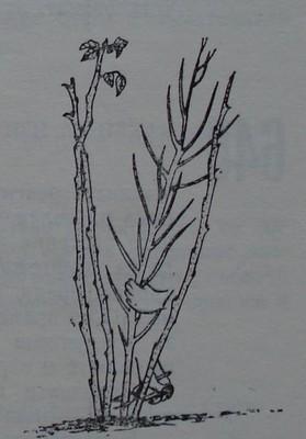 Резитба на малиново растение