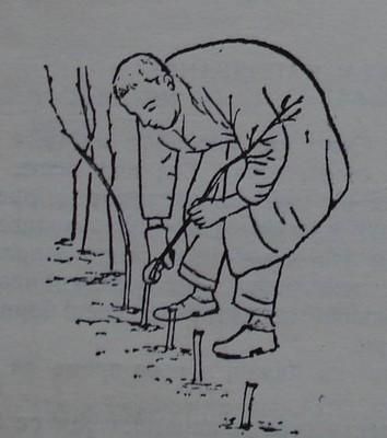 Резитба на малинови растения през първата година след засаждането