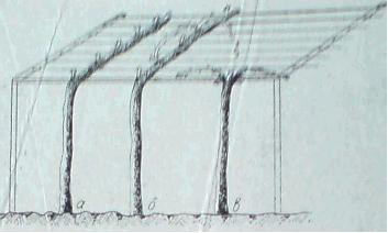 Резитба на асми