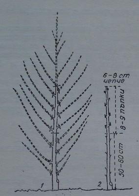Резитба на прасковено дръвче през първата година
