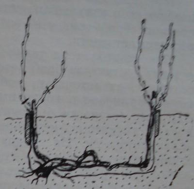 Резитба на лози, получени при гъткане