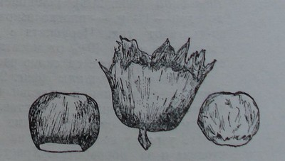 Римски лешник