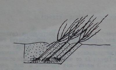 Съхраняване на овощен посадъчен материал