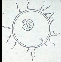 От хилядите сперматозоиди само един опложда яйцеклетката