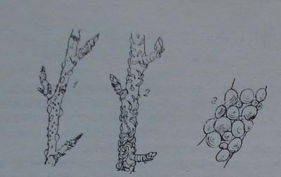 Щитоносни въшки
