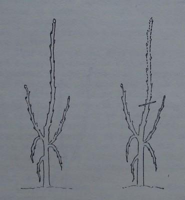 Ябълково дръвче, на което скелетните клонки са слаби.