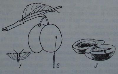 Сливов плодов червей
