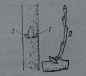 Стипуларни пъпки и клонче, израснало от стипуларна пъпка