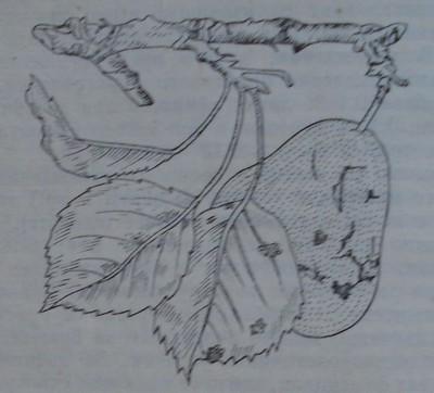 Струпясване по круша листа и плод