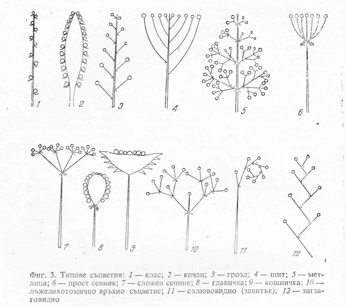Типове съцветия