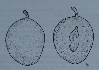 Тулеу тимпуриу