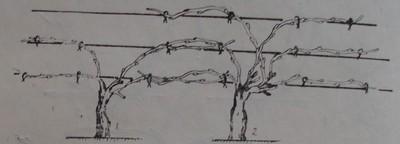 Ветриловидна многораменна формировка със стъбло