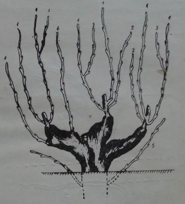 Видове леторасти при лозата
