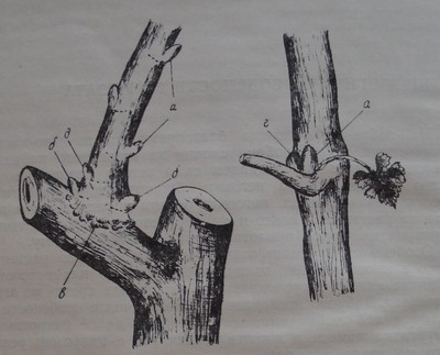 Видове пъпки при лозата