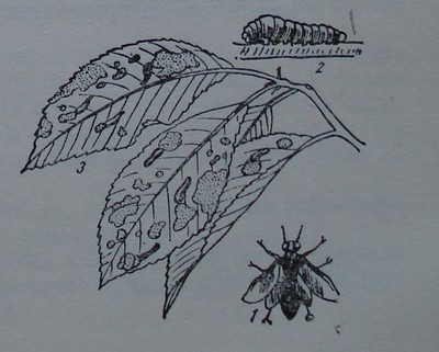 Вишнева листна оса