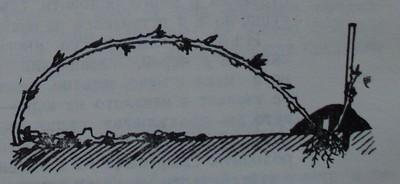Вкореняване на връхната част на едногодишни къпинови леторасти