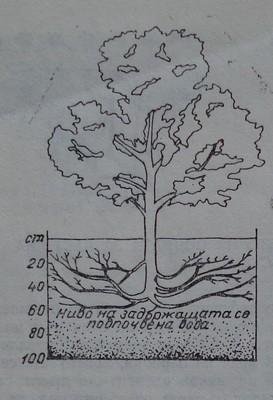 Влияние на нивото на подпочвената вода върху разпределението на корените