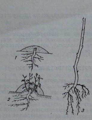 Размножаване чрез загърляне на леторастите
