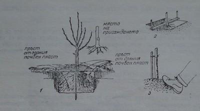 Засаждане на овощно дръвче.