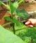 Резитба на пауловнията (Paulownia) - Разсадници ЕЛИТ