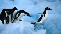 Зоопортал Бау Бау: пингвините са птици, но не летят
