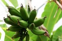 Чудесата на зелените банани