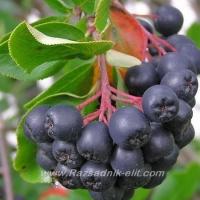 Отглеждане на Арония - Aronia melanocarpa - Овощен разсадник ЕЛИТ