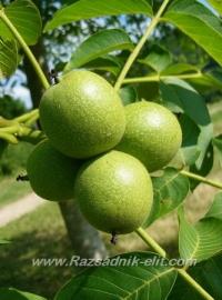 Отглеждане на орехи - Овощни Разсадници ЕЛИТ