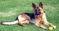 Портал за животни Бау Бау: Немска овчарка или просто кучето-герой