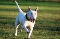 Портал за животни разказва за Бултериера – шампионът сред кучетата